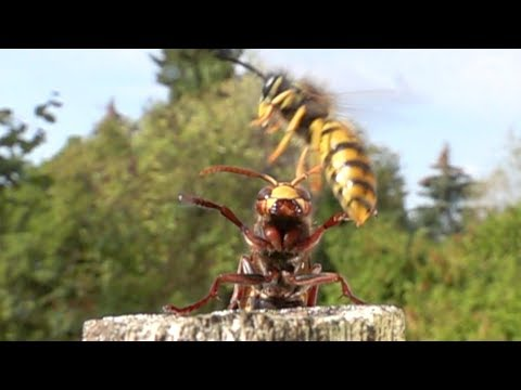 Slomo 500 fps. SONY RX10 IV. Hornet scares away yellow jackets.