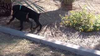 Doberman - European Doberman Pinscher Puppies - For Sale