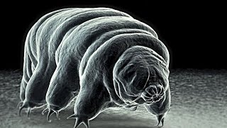Meet The World's Toughest Animal... The INVINCIBLE Tardigrade!