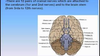 17-Nervous System_6-Cranial Nerves (Anatomy Intro Dr Ahmed Kamal)