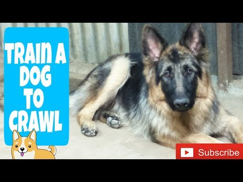 How to train a dog or puppy to crawl (HIndi) | Dog training in Hindi |