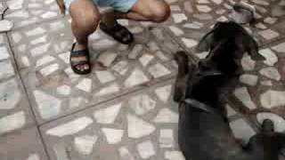 Nepolitan Mastiff (Prashants Dog)
