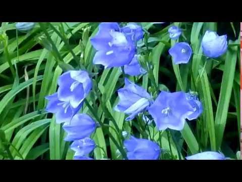 Колокольчики синие цветы! Очень красиво!!! Campanula \