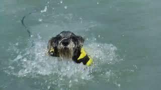 必死に泳ぐ犬。 これでも上手になったんだよ(笑)