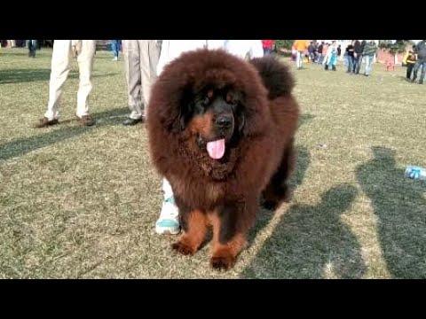 Our tibetan mastiff puppies at amritser dog show | +919417730301 |hkktm