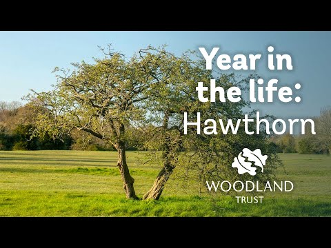 A Year in the Life of a Hawthorn Tree