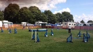 Beagle Agility - Graded 3-5 (g3) Jumping