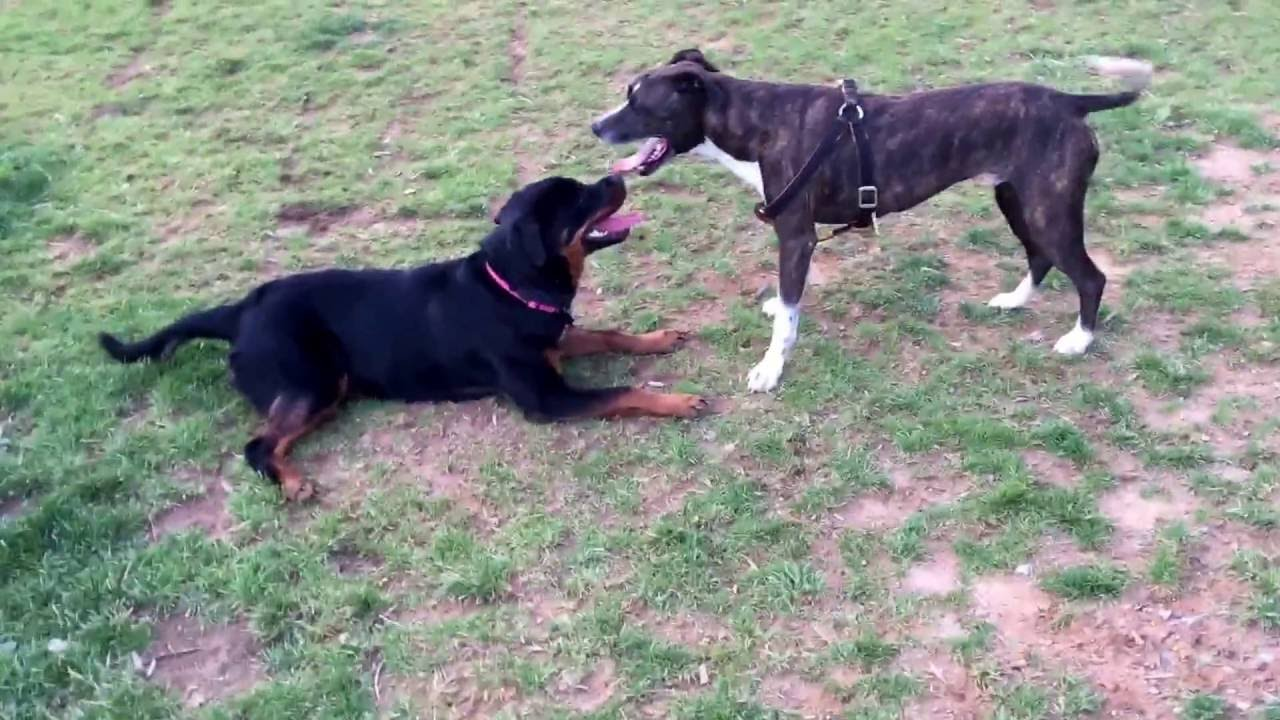 Rottweiler Puppy Vs Boxer Lab Mix Youtube