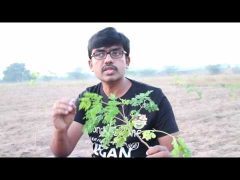 20th Day Moringa Plant - FFHP.in Farms