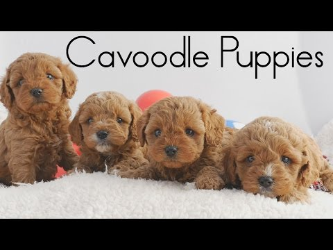 Cute Red Cavoodle Puppies at Chevromist