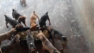 Làm giàu từ mô hình nuôi chó | Mô hình nuôi chó tận dụng từ trąng trại hęo (lợn)