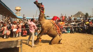 Pushkar Mela: Dancing camel #4