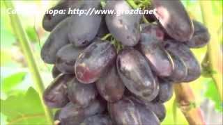 Сорт винограда: Велика(, 2014-09-11T12:51:23.000Z)