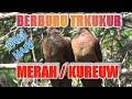 Brburu Tekukur Merah Kureuw Di Pagi Hari  Mp3 - Mp4 Download