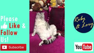 Fat Lazy Cat Sleeping Funny Video
