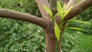 आम पे कलम लगाने का इससे आसान तरीका ओर  कोई नही ! how to graft a mango tree?