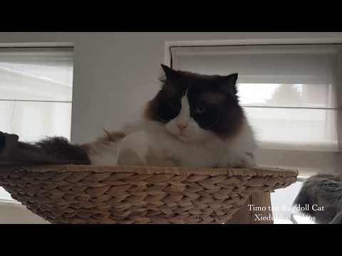 Timo the Ragdoll Cat vs Vacuum Cleaner