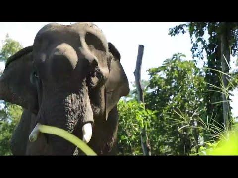 لاوس بلاد المليون فيل لم يتبق منها سوى 800!!  - نشر قبل 3 ساعة
