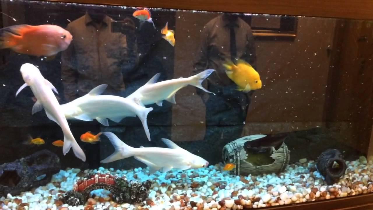 Parrot fish and white shark feeding frenzy funnydog tv for Shark fish for aquarium