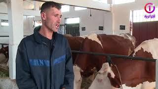أمالسون ..تربية الأبقار مهنة متوارثة عبر الأجيال