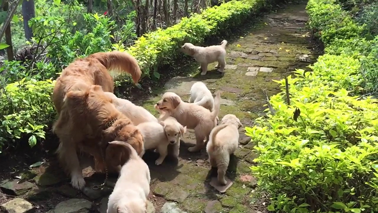 Golden Retriever puppies available in Coimbatore Call 9894398777 for more  details