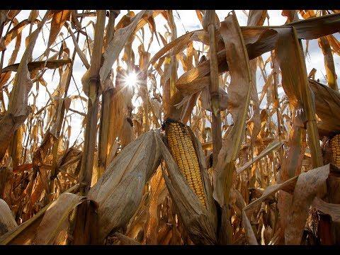 "12 - December ""Corn Harvest"""