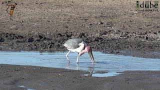 Marabou Worlds Ugliest Stork