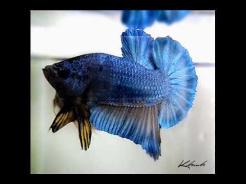 betta colection of khanhnguyen