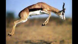 Шакал и джейран. Jackal and gazelle. Азербайджан.(Единственная дикая газель фауны стран СНГ в Ширванском национальном парке. Здесь сохранена крупнейшая..., 2011-12-03T11:14:10.000Z)
