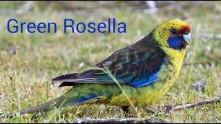 Different type of Rosella Birds