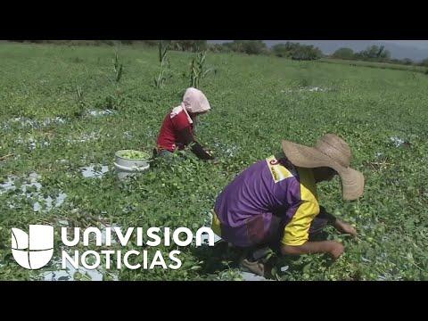 Viviendo De La Amapola En Guerrero