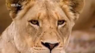 Животные мира Царь зверей Львинная охота Семейный союз Смена ролей Большие кошки Глазами хищника