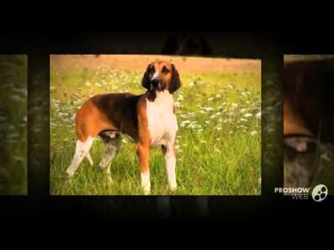 Poitevin Dog breed
