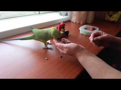Ожереловый попугай Шуня (девочка)