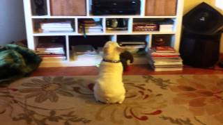 Morty, French Bulldog, Watching Tv...