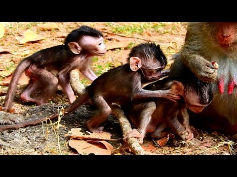 So Cool! All Newborn Baby Monkeys Playing Together! So Fantastic Nature Life!