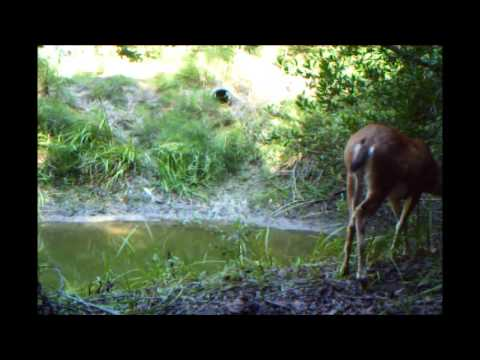 Doe And Playful Fawn At The Pond