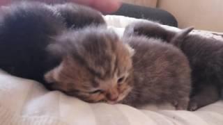 Британские котята, возраст 10 дней. Только открывают глазки