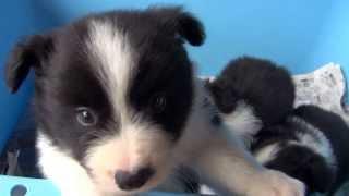 2013年9月11日生まれ ボーダーコリーの子犬です。 ブラック&ホワイト ...
