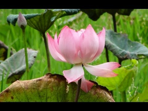 Beautiful Lotus or Nelumbo nucifera pink color flower