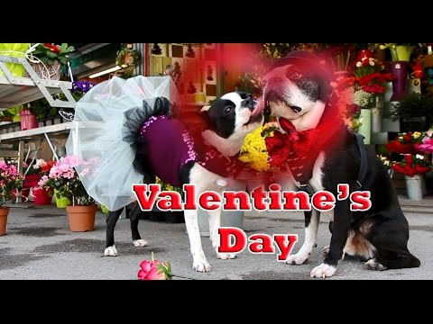 Perfekt 2 Boston Terrieru0027s Tricks Happy Valentineu0027s Day