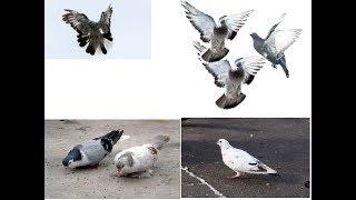мини клип голуби