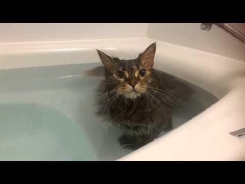 Siberian cat take a bath