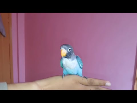 love birds full hand tamed [ video in urdu & hindi ]