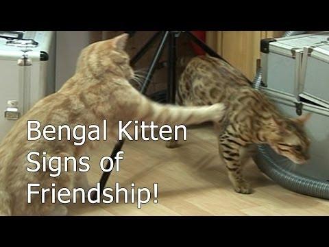 Bengal Kitten Settles - Signs of friendship - Part 7