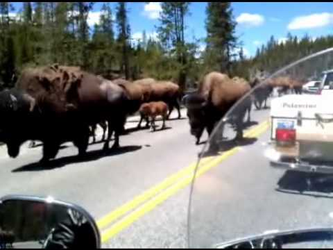 Riding My Motorcycle Through a Buffalo Herd in Yellowstone