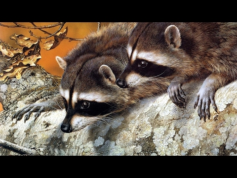The Surprising Intelligence of Raccoons
