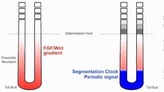 Clock and Wavefront Model for Vertebrate Segmentation