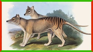 The Search for Tasmanian Tigers Continues