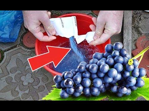 Опрыскайте этим виноград